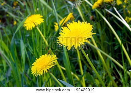 Yellow Flowers Of A Field Dandelion On A Hot Summer Day