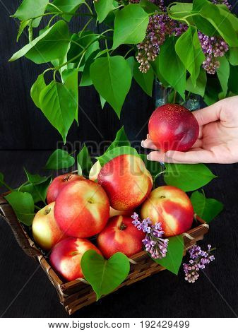 Nectarines in the basket and branches of lilac. Nectarine in female hand
