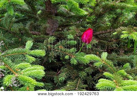 A Late Blossoming Tulip Sprouts Through The Branches Of A Young Spruce