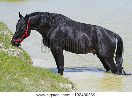 The dark-bay horse relaxing in a pond