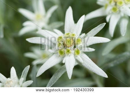 Fresh edelweiss Flowers close up. Selective focus.