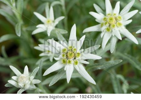Edelweiss flowers close up as a background. Selective focus.