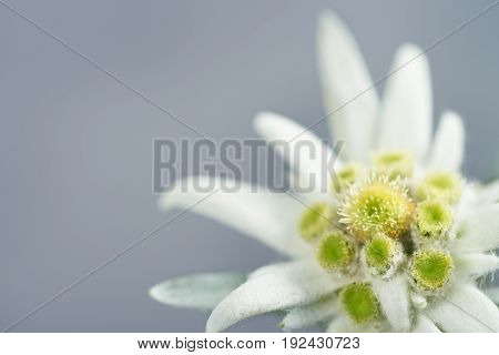 Light blue background with copy space and edelweiss flower in the corner