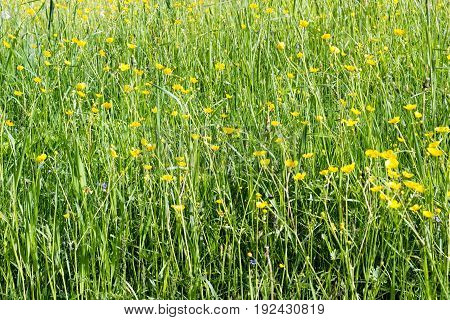 Summer Field With High Juicy Grass And Yellow Tall Buttercups