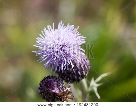 Pink Thistle Growing In Summer