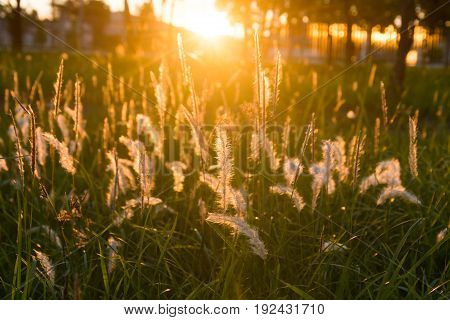 Flowering Grass At Sunrise Background.