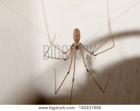 scary spider long legs thin dangling in house