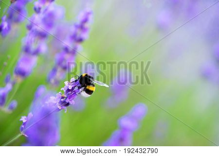 shaggy bumblebee gathers nectar from a lavender flower, background