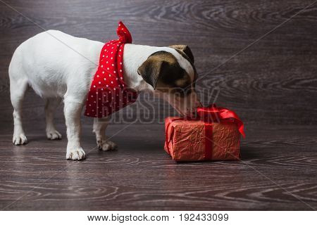 The dog is sniffing festive gift box. Dark wooden background. Dog in a trendy red bandana. Dog with festive gift box.