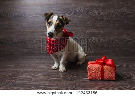 Jack Russell Terrier sitting in front of dark wooden background. Dog in a trendy red bandana. Dog with festive gift box.