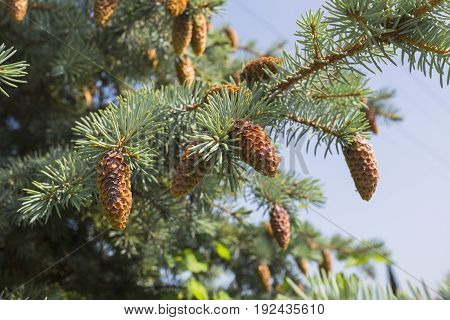 Cones Of Fir Trees Against The Sky