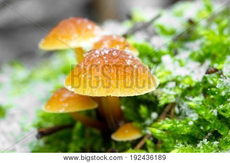 Flammulina velutipes is an edible sponge mushroom shot in the Czech Republic, Europe