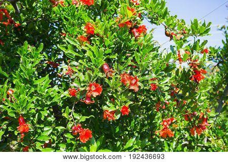 Flowering Plantation Of Pomegranate In The Valleys Of Turkey