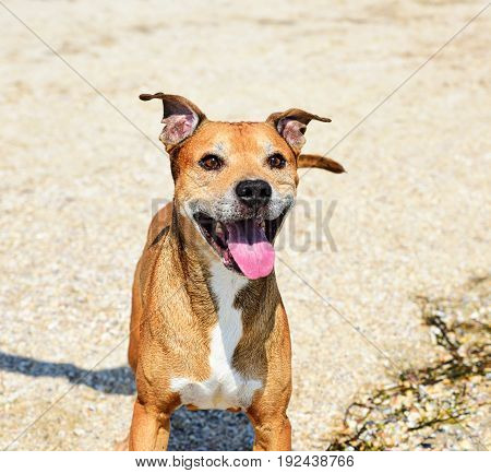 Redhead American pit bull terrier playing in nature funny smile on face