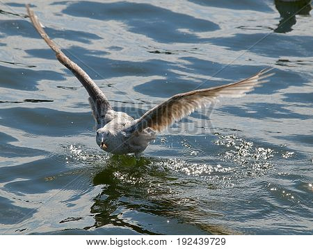 White Gull with the bread collected while flying over the water in the sea port of Gdynia.