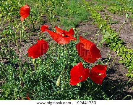 Decorative red poppies in the fields of Ukraine .