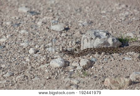 One poisonous viper on a stone plain in nature.