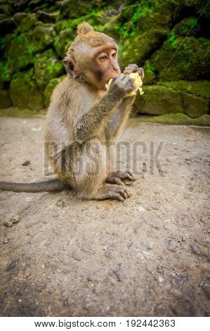 Long-tailed baby macaque Macaca fascicularis in The Ubud Monkey Forest Temple eating a cob corn using his hands, on Bali Indonesia.