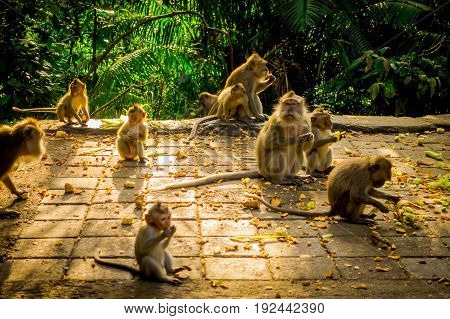 Beautiful group of long-tailed macaques Macaca fascicularis in The Ubud Monkey Forest Temple, eating fruits in a sunny day inside the forest, on Bali Indonesia.