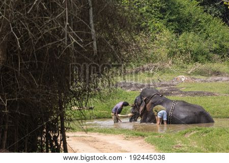 Bandipur India - October 26 2013: Two tribe members bath a chained black elephant in a pond. Jungle setting with green vegetation and brown water.