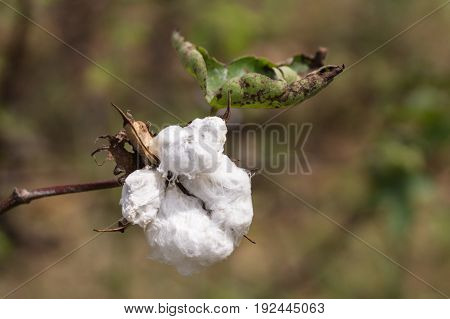 Karnataka India - October 26 2013: The white downy fibers exposed out of the boll on the branch of the cotton plant. Closeup.
