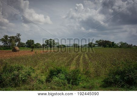Karnataka India - October 26 2013: Cotton field with white dots on brown branches under gray storm cloudscape. Green landscape with haystack on brown dirt. South Karnataka.