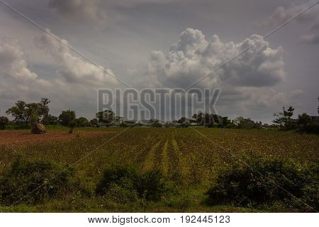 Karnataka India - October 26 2013: Cotton field with white dots on brown branches under dark storm cloudscape. Green landscape with haystack on brown dirt. South Karnataka.
