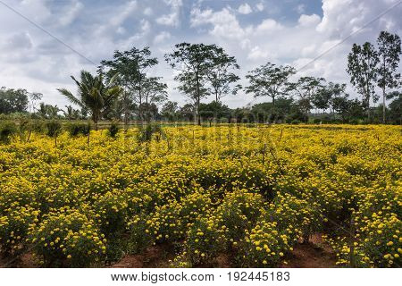Karnataka India - October 26 2013: Field of yellow marigold flowers framed by green trees on red dirt under blue cloudy skies.
