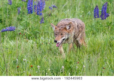 Coyote (Canis latrans) Prowls Through Grass - captive animal