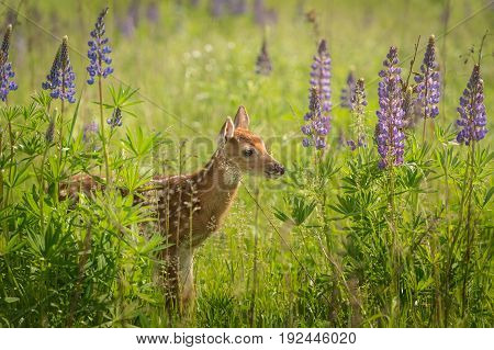 White-Tailed Deer Fawn (Odocoileus virginianus) in Lupin Patch Looks Right - captive animal