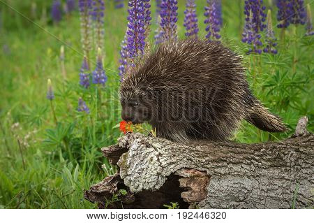 Porcupine (Erethizon dorsatum) Examines Flower - captive animal
