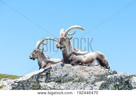 Ibex males lie down indigenous of gredos mountain