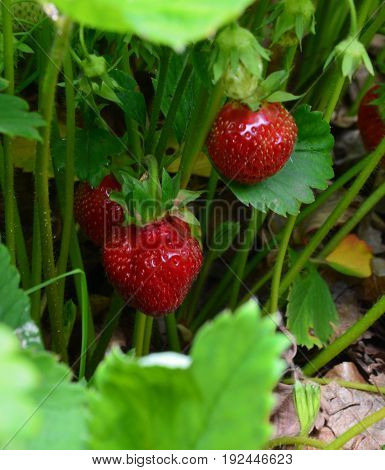 the growth of the strawberries and the leaves are succulent berry in the garden