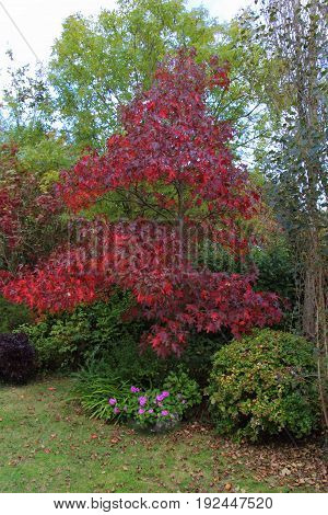 Maple tree with autumn colors in a garden
