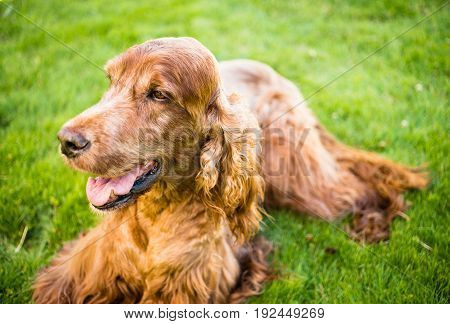 Man's best friend the purebred Irish Setter laying in the backyard