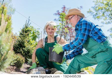 Senior gardener planting a tree in a garden with middle-aged woman gardener assistance.