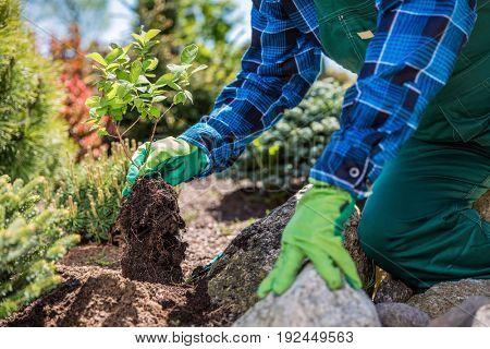 Gardener planting new tree in a garden. Garden planning.