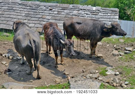 Wild cows in Annapurna national park, Nepal