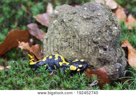 Salamandra salamandra tailed amphibian shot in the Czech Republic, Europe