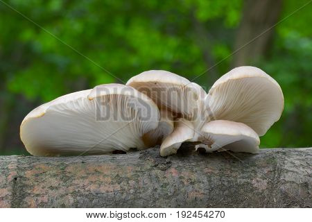 Pleurotus pulmonarius Mushroom shot in the Czech Republic, Europe