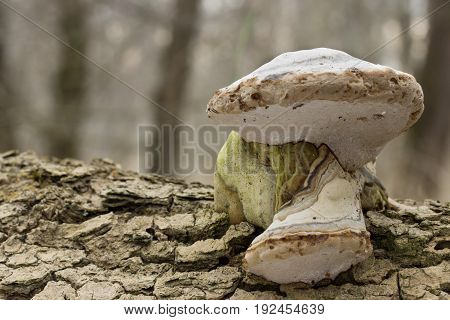 Fomes fomentarius Mushroom shot in the Czech Republic, Europe