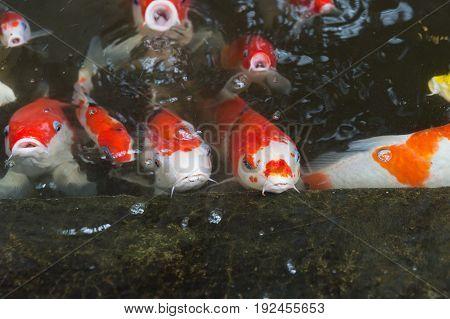 koi fish or fancy carp in pond.