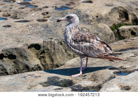 A Western gull (Larus occidentalis) with first-summer plumage at on natural rock formations at La Jolla Cove in San Diego County.