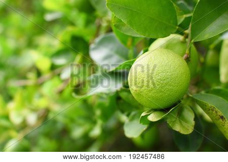 Lime green tree hanging from the branches