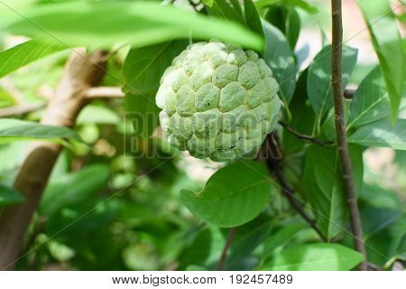 Custard apple branch on tree, Thai fruit