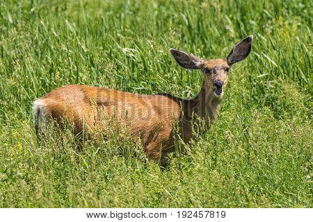 Female Mule Deer standing in tall grass