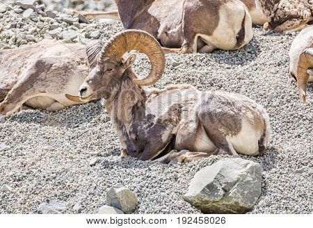 Bighorn Sheep sitting on a mountainside in Yellowstone National Park