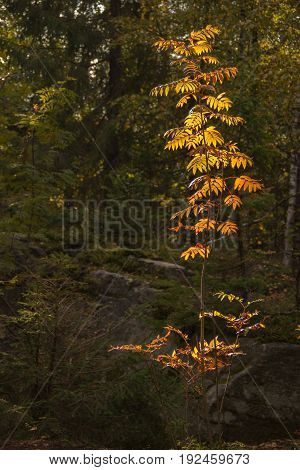 Fine young rowan tree in the rays of the evening autumn sunshine
