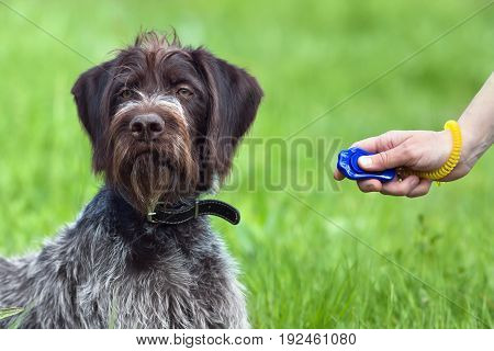 hand training young hunting dog with clicker