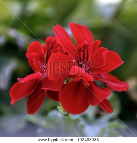 Red blooming geranium flower with a little buds